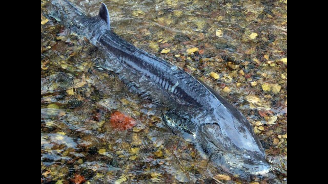 A sturgeon moves around in the water in Chickeney Creek as it prepares to enter the open waters of the Wolf River.  (Lee Pulaski | NEW Media)