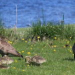 A pair of Canadian geese, along with their goslings, roam around a grassy area in Smalley Park on May 13 looking for food. The geese have long been an issue for the city of Shawano at the park and Huckleberry Harbor, and after years of trying more humane methods, the Shawano Common Council approved asking the U.S. Department of Agriculture Wildlife Services to round up and eradicate the geese.