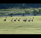 A family of geese walks through the field toward Pleasant Lake in Aniwa on July 12.  Luke Reimer   NEW Media